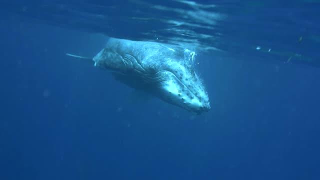 vídeos y material grabado en eventos de stock de humpback whale calf swims to the camera, vava'u, tonga. - un animal
