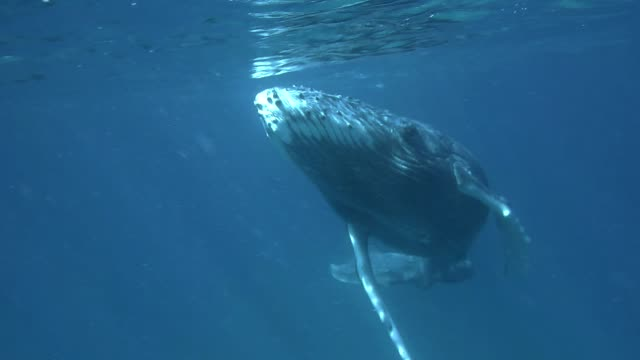 vídeos de stock e filmes b-roll de humpback whale calf swims to the camera, vava'u, tonga. - um animal