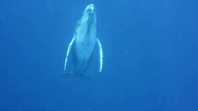 humpback whale calf swims to the surface. - animal fin stock videos and b-roll footage