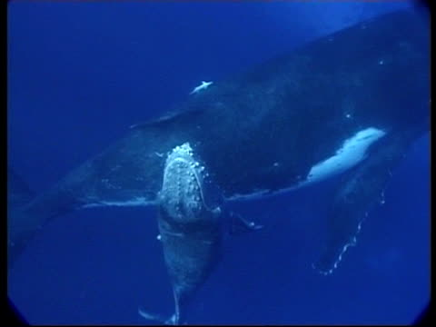 stockvideo's en b-roll-footage met cu humpback whale (megaptera novaeangliae) calf swims under mother and surfaces, underwater, tonga - cetacea