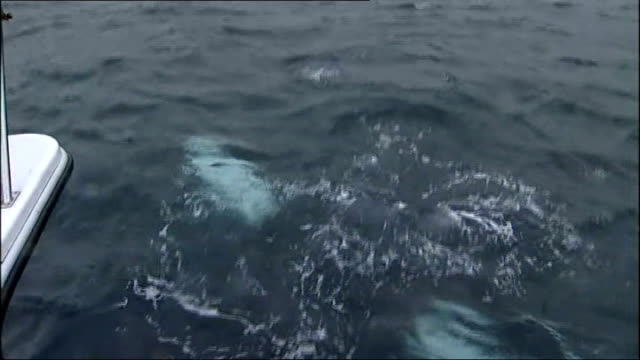 humpback whale caught in fishing lines off shetland coast; scotland: off shetland coast: ext humpback whale surfacing beside boat and whale swimming... - surfacing stock videos & royalty-free footage
