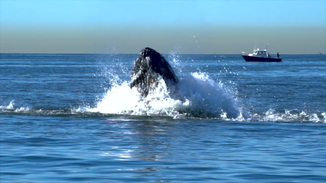 stockvideo's en b-roll-footage met humpback whale close up feeding on menhaden in nyc - walvis