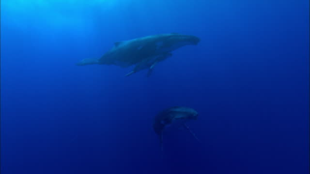 humpback whale courtship - whale stock videos & royalty-free footage