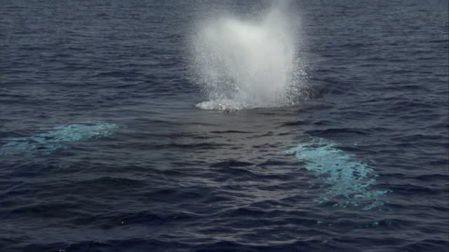 A humpback whale dives after it spouts. Available in HD.