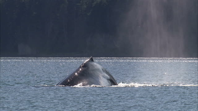 a humpback whale dives and exposes its mighty fluke. - tail fin stock videos & royalty-free footage