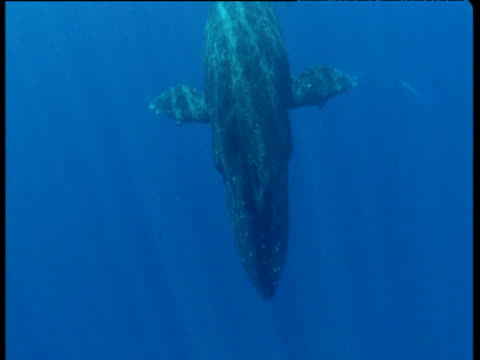 Humpback whale dives and sounds into the deep, Hawaii