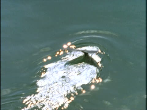 a humpback whale dives into ocean waters. - cetacea stock videos & royalty-free footage