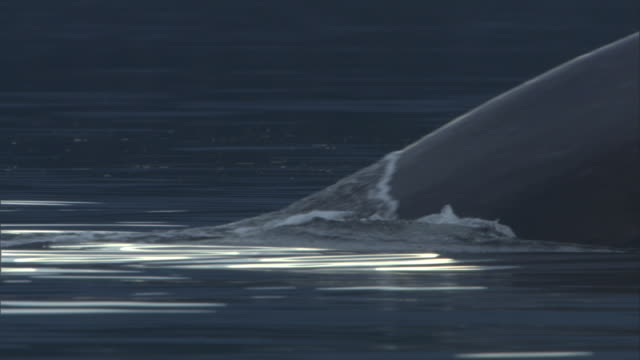 a humpback whale dives into the ocean. available in hd. - cetaceo video stock e b–roll