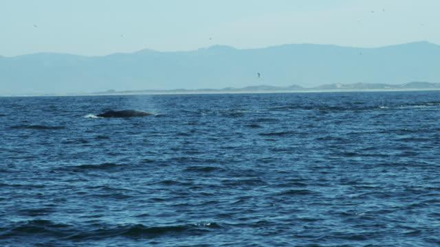 humpback whale diving ocean pacific coastline monterey california - blåshål djurkroppsdel bildbanksvideor och videomaterial från bakom kulisserna