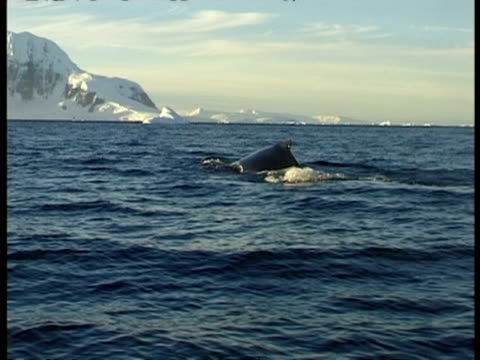 ms humpback whale diving, tail sticking out from water showing its identifying markings, antarctica - sidoflik bildbanksvideor och videomaterial från bakom kulisserna
