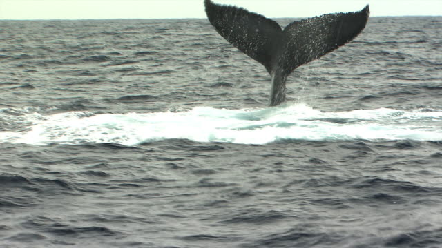 Humpback whale engaged in a tail slap