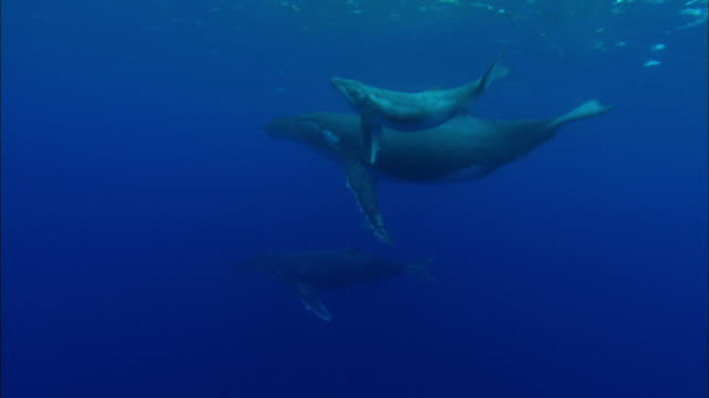 Humpback Whale family swimming underwater
