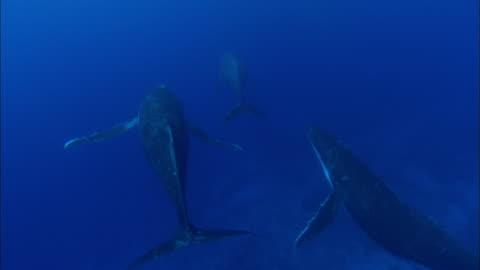 vídeos de stock e filmes b-roll de humpback whale family swimming underwater - baleia de bossas