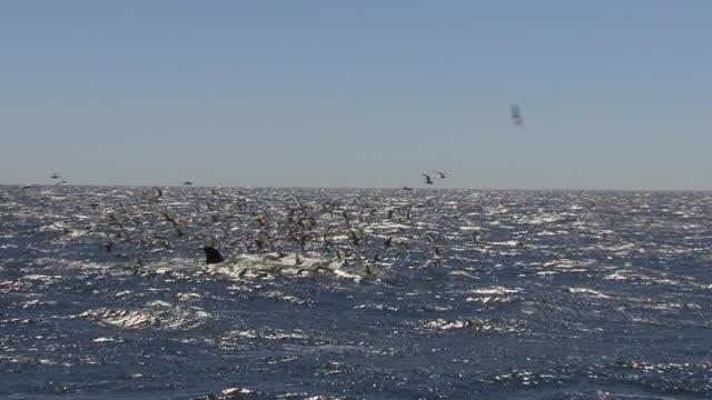 humpback whale feeding - atlantic ocean stock videos & royalty-free footage
