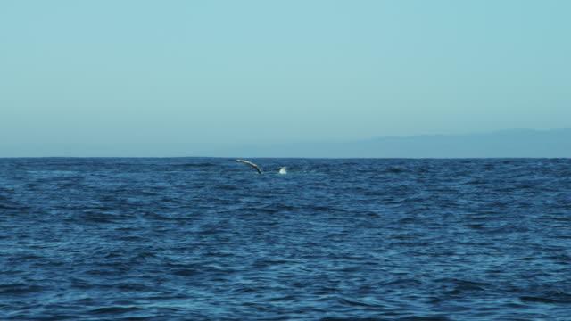 humpback whale fin raised ocean surface pacific monterey - blåshål djurkroppsdel bildbanksvideor och videomaterial från bakom kulisserna