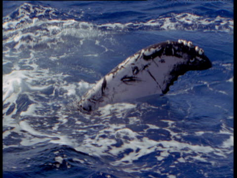 humpback whale flukes at surface of ocean, hawaii - animal fin stock videos & royalty-free footage