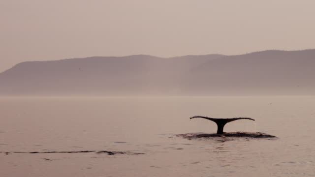 humpback whale fluking at sunset - james whale stock-videos und b-roll-filmmaterial