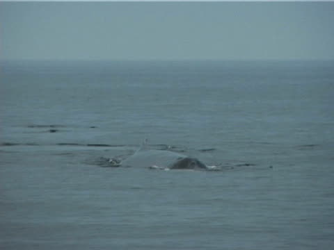 humpback whale fluking slowly (2003) - lobtailing stock videos & royalty-free footage