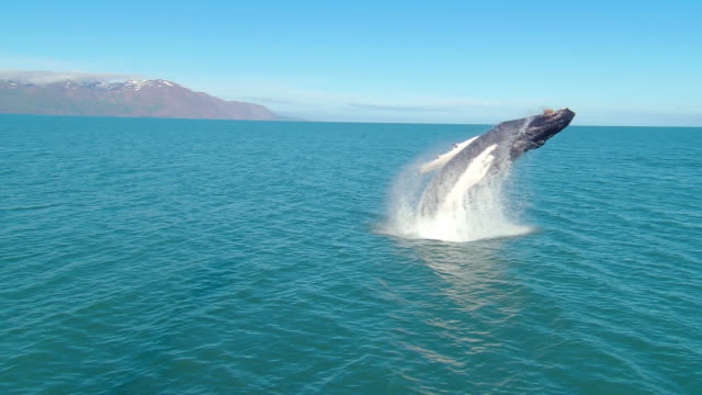 humpback whale (megaptera novaeangliae) full breach, iceland, n atlantic - buckelwal stock-videos und b-roll-filmmaterial