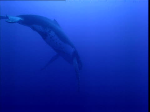 Humpback whale hangs in water singing, French Polynesia