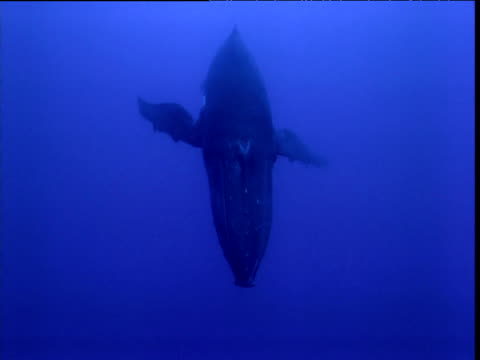 humpback whale hangs in water singing, french polynesia - singing stock videos and b-roll footage