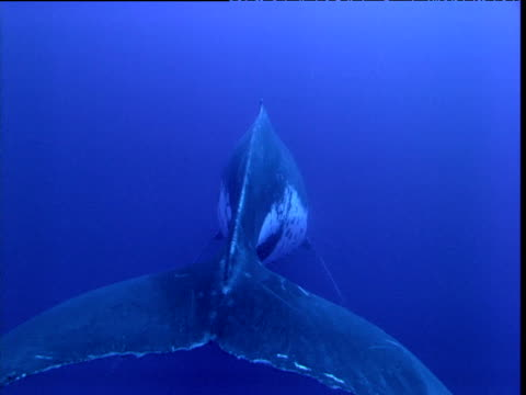 humpback whale hangs in water singing, french polynesia - whale stock videos & royalty-free footage