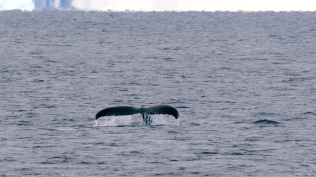 humpback whale in the antarctic sea - cetacea stock videos & royalty-free footage