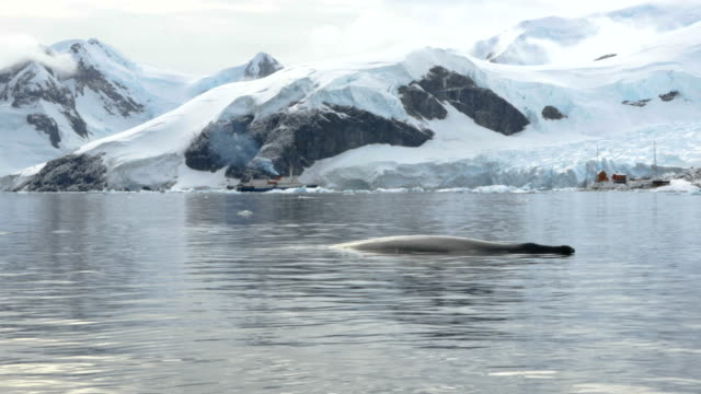 humpback whale in the foreground and the antarctic landscape - nature reserve stock videos & royalty-free footage