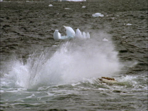 a humpback whale lobtails in antarctica. - lobtailing stock videos & royalty-free footage