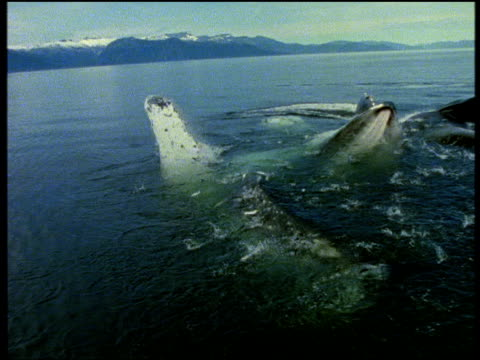 Humpback whale lunge feeding, gaping, huge throat expands as it swallows shoal of herring, Alaska