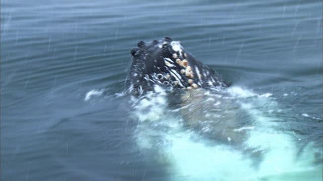humpback whale lunging out of water - cetacea bildbanksvideor och videomaterial från bakom kulisserna