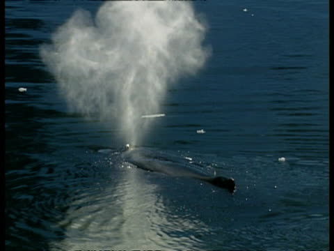 ms humpback whale, megaptera novaeangliae, blowing out, antarctica - blåshål djurkroppsdel bildbanksvideor och videomaterial från bakom kulisserna