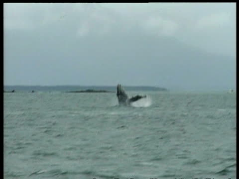 wa humpback whale, megaptera novaeangliae, spyhopping, arctic circle - cetacea bildbanksvideor och videomaterial från bakom kulisserna