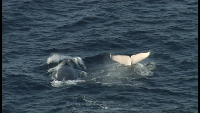 Humpback whale migration Pacific Ocean off Sydney Various aerial shots white albino humpback whale 'Migaloo' swims iso shots and also with other...