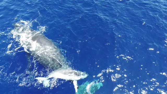 humpback whale mother and calf, south pacific ocean - ザトウクジラ点の映像素材/bロール