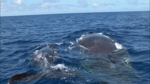vídeos y material grabado en eventos de stock de humpback whale (megaptera novaeangliae) mother and calf surfacing, spouting water out of blowhole, and diving / tonga, south pacific - ternero