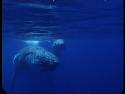 stockvideo's en b-roll-footage met humpback whale (megaptera novaeangliae) mother and calf swim to and past camera, underwater, tonga - cetacea