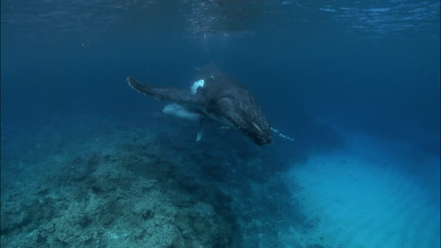 humpback whale (megaptera novaeangliae) mother and calf swimming in shallow water / north bay, tonga, south pacific - north pacific stock videos & royalty-free footage