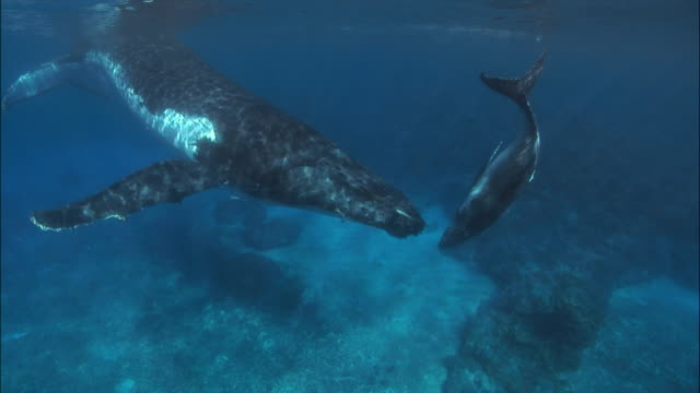 vídeos de stock, filmes e b-roll de humpback whale (megaptera novaeangliae) mother and calf swimming in shallow water / north bay, tonga, south pacific - fundo do mar