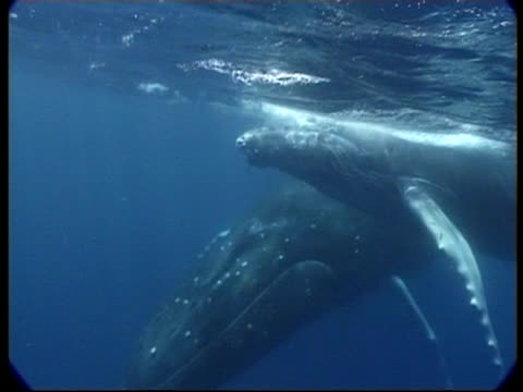 stockvideo's en b-roll-footage met mcu humpback whale (megaptera novaeangliae) mother and calf swimming together past camera, underwater, tonga - cetacea