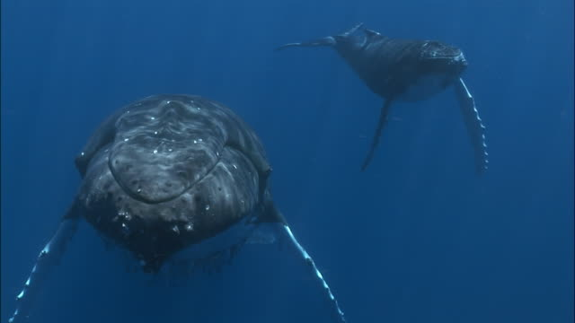 humpback whale (megaptera novaeangliae) mother and calf swimming under surface of water attended by remoras (echeneidae) / passing under camera / tonga, south pacific - buckelwal stock-videos und b-roll-filmmaterial