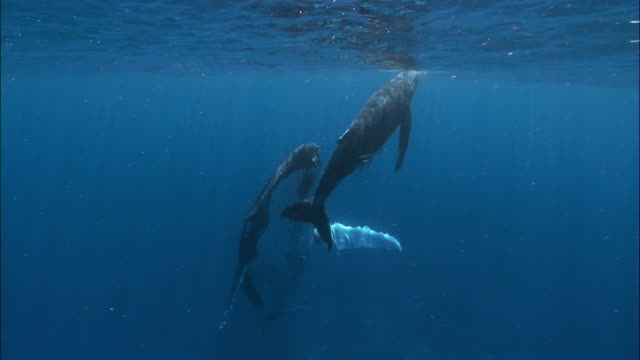 humpback whale (megaptera novaeangliae) mother and calf swimming under surface of water attended by remoras (echeneidae) / calf resting on mother's rostrum / tonga, south pacific - kalb stock-videos und b-roll-filmmaterial