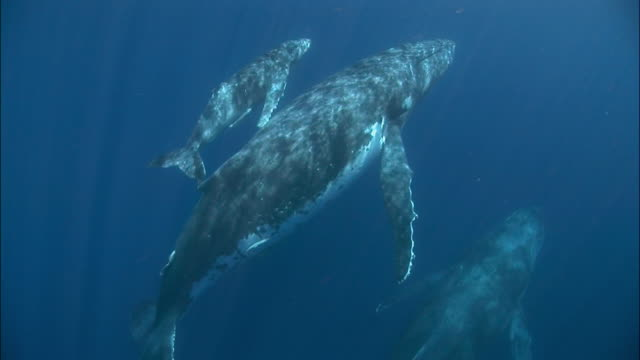 Humpback whale (Megaptera novaeangliae) mother and calf swimming with other adult along surface of water with remoras (Echeneidae) attached to bellies / Tonga, South Pacific