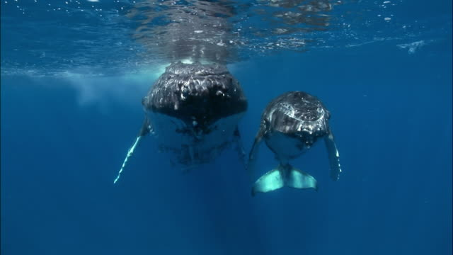 humpback whale (megaptera novaeangliae) mother and calf with remoras attached swimming under surface of water / tonga, south pacific - humpback whale stock videos & royalty-free footage