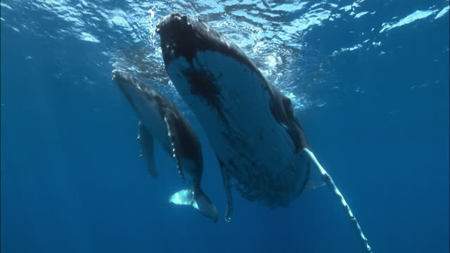 Humpback whale (Megaptera novaeangliae) mother and calf with remoras (Echeneidae) clinging to bellies hovering under surface of water / Tonga, South Pacific