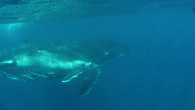 Humpback whale mother and calf with snorkeler