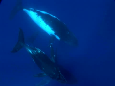 humpback whale (megaptera novaeangliae) mother, calf and escort, rotate around, toku, tonga - protection stock videos & royalty-free footage