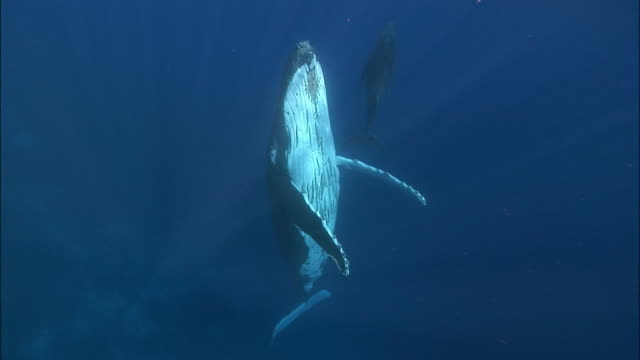 Humpback whale (Megaptera novaeangliae) mother with remoras (Echeneidae) attached to belly and calf suspended vertically in water / Tonga, South Pacific