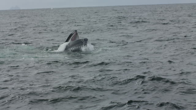 Humpback whale opening mouth and swallowing fish at surface