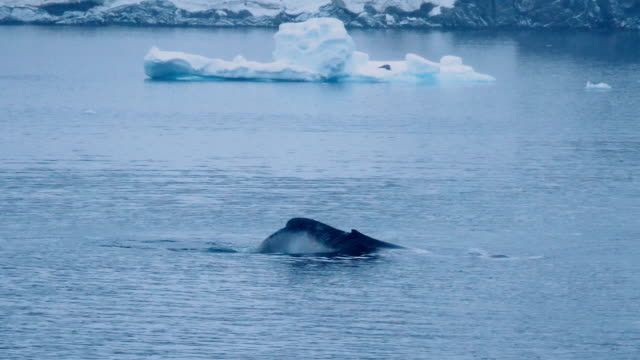 humpback whale playing in the antarctic waters - cetacea stock videos & royalty-free footage